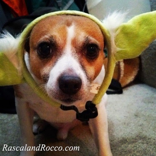 dog in Yoda ears