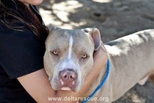 Loving pit bull at the DELTA animal rescue