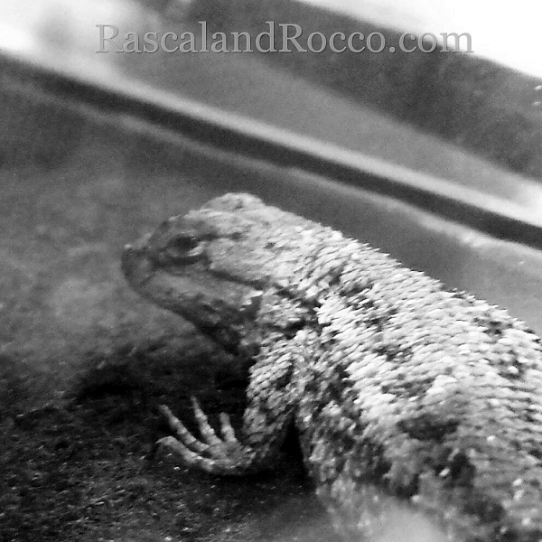Raining chaos in the home of Rascal and Rocco. Cats, dogs, and even lizards have gone mad.