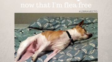 Is One Flea a Major Problem? #12Bravecto
