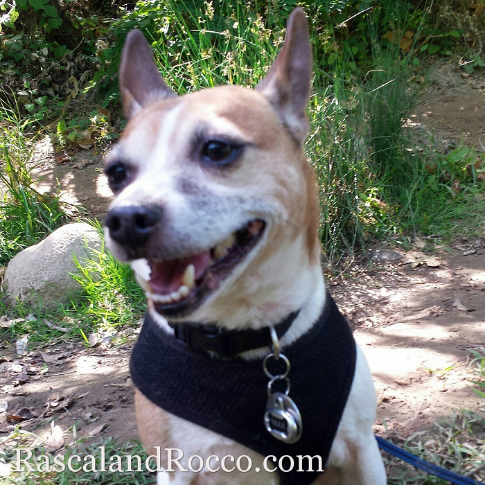 My dog is smiling again after we get rid of fleas | flea remedies for dogs | pets | #12bravecto @MerckAH #ad