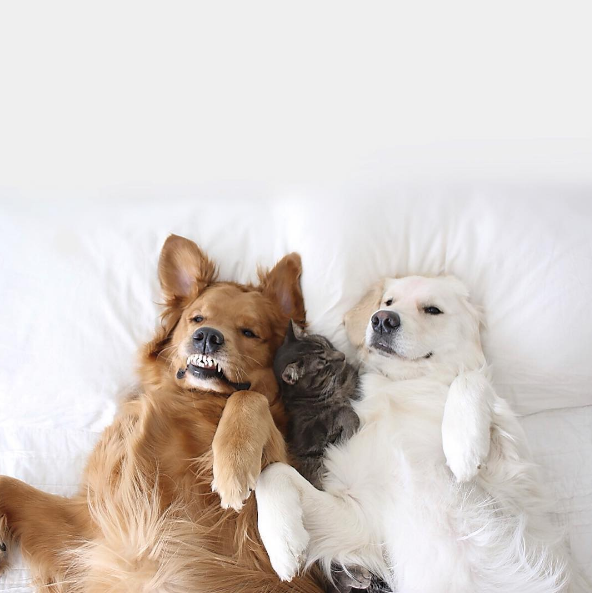Funny pets dogs and cats laying together