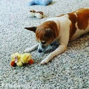 Someone throw the ducky | dogslife | playful dog