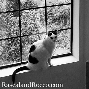 black and white cat in the window