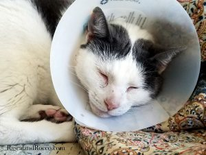 cone head cat | Cat in a vet cone collar