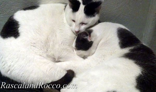 Why Adopt an Adult Cat? #WellnessPetFood #AdoptaCatMonth