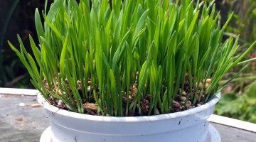 Perfect Gift for Your Pampered Kitty – Cat Grass