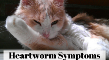 Heartworm Symptoms in Cats – What You Need to Know