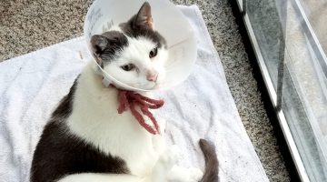 Caring for a Cat with a Cat Cone
